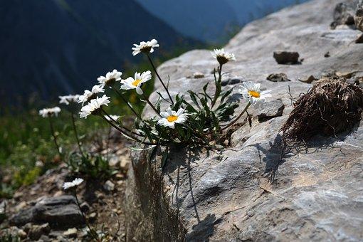Alpenmargerite, Flower, Flowers, White, Alpine Flower