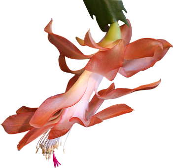 Png, Clipping, Graphics, Cactus, Flower, Salmon