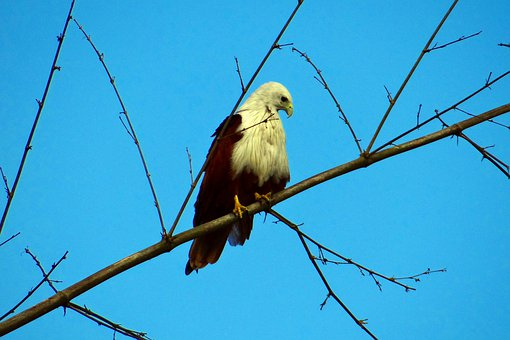 Brahminy, Kite, Haliastur Indus, Bird Of Prey, Raptor
