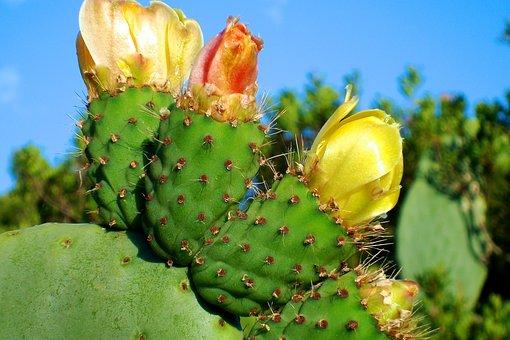 Cactus, Blossom, Bloom, Sting, Plant, Yellow, Khaki