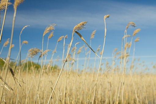 Cane, Nature, Landscape, Sky, Dry, Grass, Fields