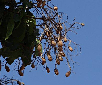 Indian Copal, Malabar Tallow, Piney Varnish