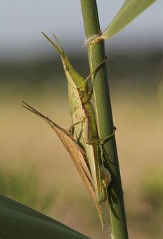 Grasshoppers, Pairing, Cone Head Horror, Pyrgomorphidae