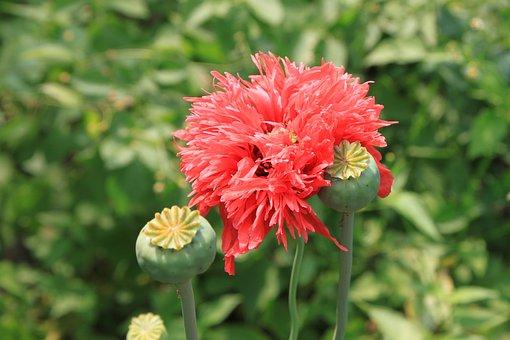 Capsules, Flowers, Herbs, Opium, Papaver, Poppy, Pink