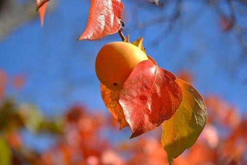 Persimmon, Fruit, Khaki, Provence, Fall, Red, Orange