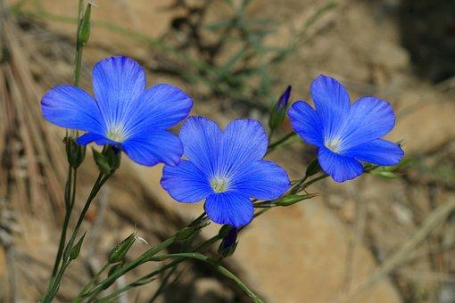 Linum Narbonense, Scrubland, Flowers