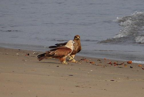 Brahminy Kite, Haliastur Indus, Red-backed, Sea-eagle