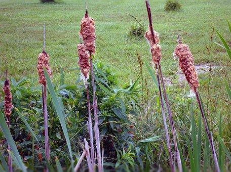 Cattails, Typha, Plant, Typhaceae, Corn Dog Grass
