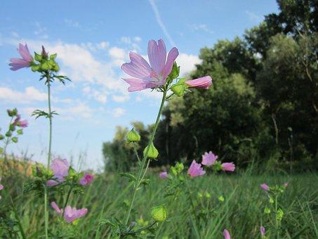 Malva Moschata, Musk-mallow, Wildflower, Flora, Botany