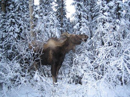 Moose, Nature, Cold, Wildlife, Animal, Brown, Antler