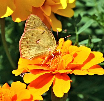 Butterfly, Insect, Grass Yellow, Species