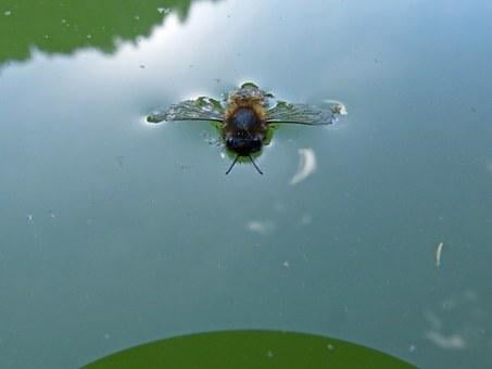 Bee, Drowned Out, Drown, Float, Insect, Water