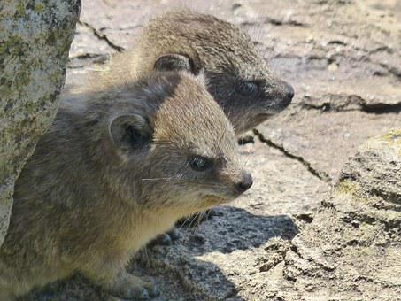 Hyrax, Mammal, Rock, Africa, Kenya