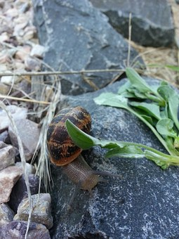 Snail, Slow, Rock, Wet, Shell, Movement, Brown, Leaf