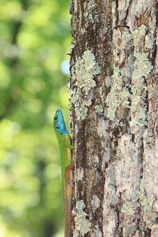Climbing, Forest, Green, Lacerta, Lizard, Trees