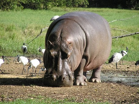 Hippo, River, Hippopotamus, Africa, Nature, Animals