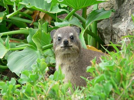 Hyrax, South Africa, Nature