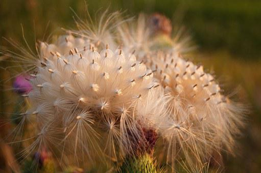 Thistle, Bloom, Mag, Plant, Nature, Field, Meadow