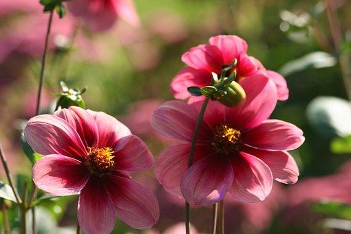 Flower, Dahlia, Variety Aragon, Gardening, Pink, Petals