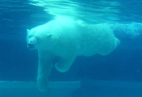 Bear, Polar, Diving, Water, Under, White, Arctic