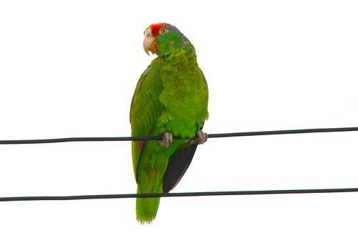 Red-fronted Macaw, Parrot, Ara, Rubrogenys, Amazonas