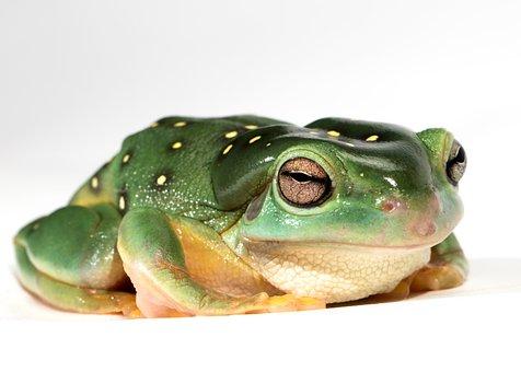 Frog, Amphibian, Green, Nature, Reptile, Animal