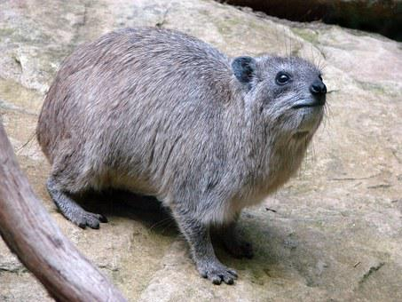 Procavia Capensis, Rock Hyrax, Cape Hyrax, Rock Badger