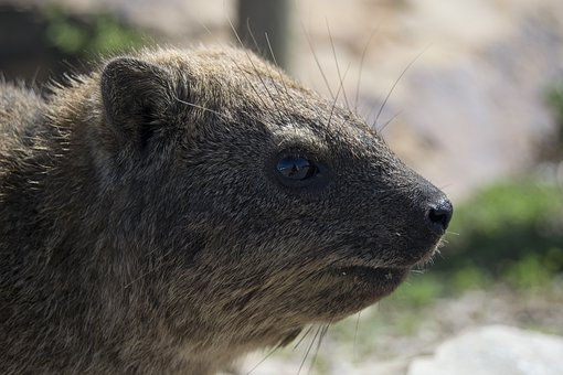 Dassie, Animal, Cute, Smile, Rock Hyrax