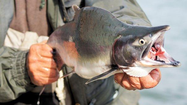 Salmon, Fish, Fishing, Kenai, Seafood, Fresh, Wild