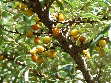 Sea Buckthorn, Bush, Berries, Fruits
