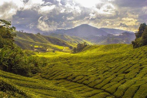 Agriculture, Tea Plantation, Cropland, Plantation
