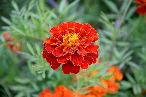 Flower, Marigold, Turkish, Plant, Garden, Nature