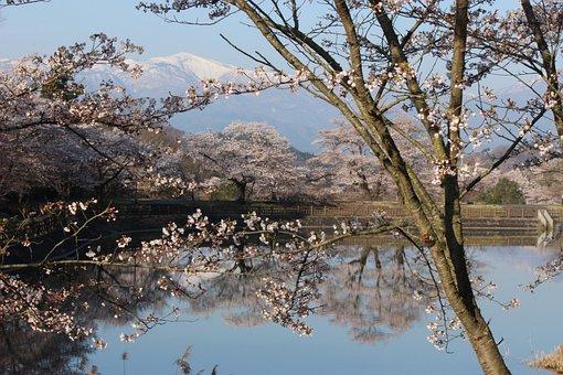 Chaya Marsh Park, Cherry, Watari, Azumayama, Fukushima