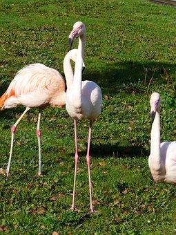 Flamingos, White, Stilts Feet, Feet, Pink