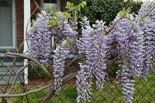 Wildflowers, Fence, Flowers, Wisteria, Floral, Plants