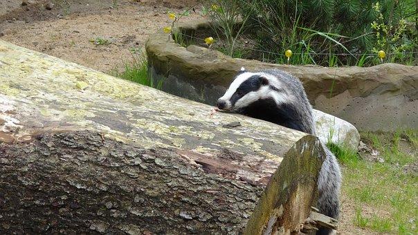 Badger, Animal, Forest, Mammal
