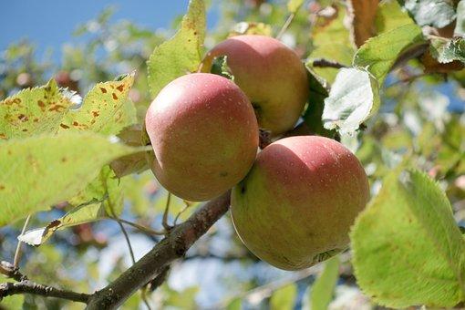 Culture Of Apple, Apple, Malus Domestica, Autumn, Ripe