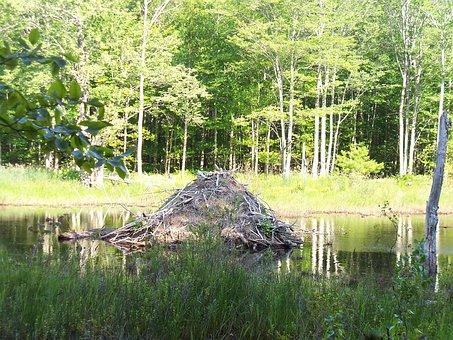 Beaver, Beavers, Beaver Lodge, Beaver Home, Hut, Pond