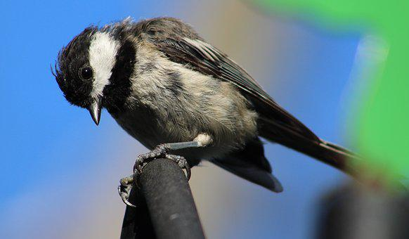 Bird, Black And White Bird, Black-capped Chickadee