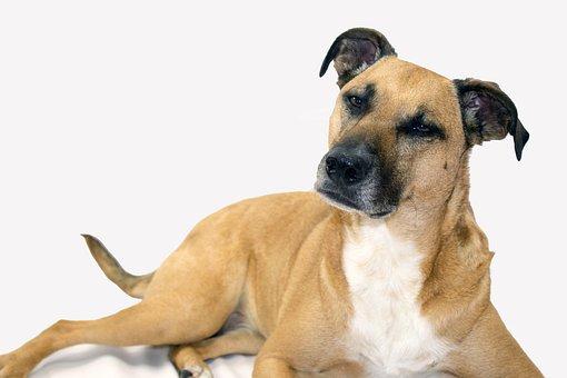 Black Mouth Cur, Cute, Dog, Rescue Dog