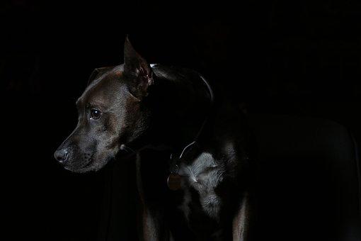 Animal, Breed, Canine, Collar, Cute, Dark, Dog