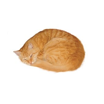 Cat, Marmalade, Sleeping, Pet, Curled Up, Deep Etched