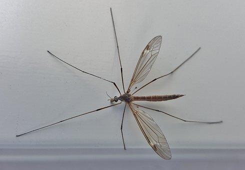 Crane Fly, Mosquito Eater, Insect, Macro, Arthropod