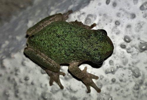 Frog, Gray Tree Frog, Amphibian, Close Up, Croak