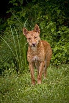 Dingo, Wild, Dog, Australia, Wolf, Canine, Predator