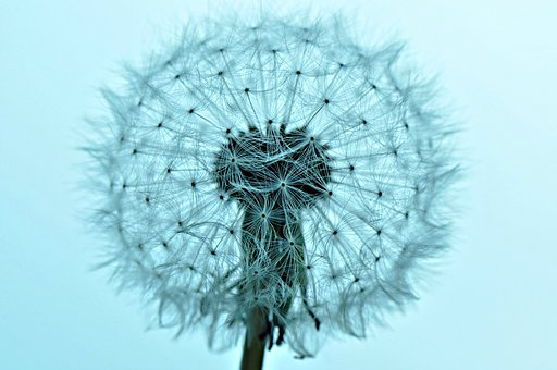 Dandelion, Dandelion Puffball, Fluffy, Growth, Macro