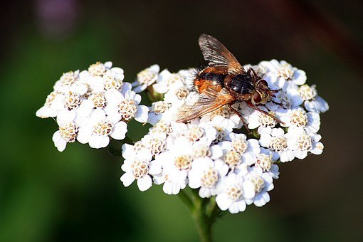Insect, Hoverfly, Umbel, Food Intake, Large Campestris