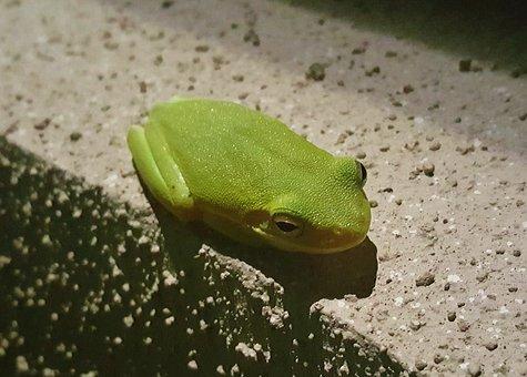 Frog, Tree Frog, American Green Tree Frog, Croak