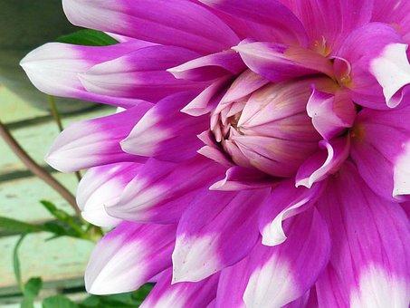 Flowers, Blossom, Bloom, Dahlia, Garden, Autumn