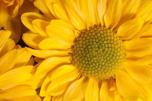 Garden Chrysanthemum, Chrysanthemum Grandiflorum